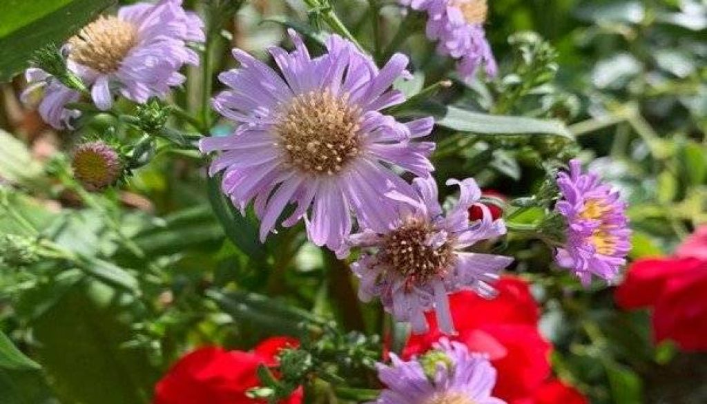 Asters could be a good fall addition to brighten up the yard under cloudier days ahead.