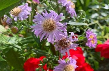 Blooming aster