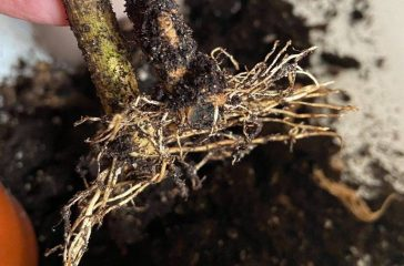 Rooted rose of Sharon hardwood cuttings.
