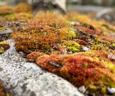 Moss growing on compacted soils.