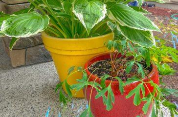 Blue corydalis in a ceramic planter