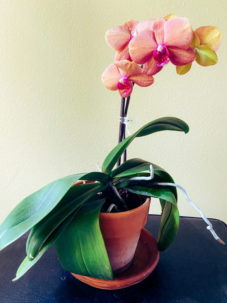 Orchid in pot.